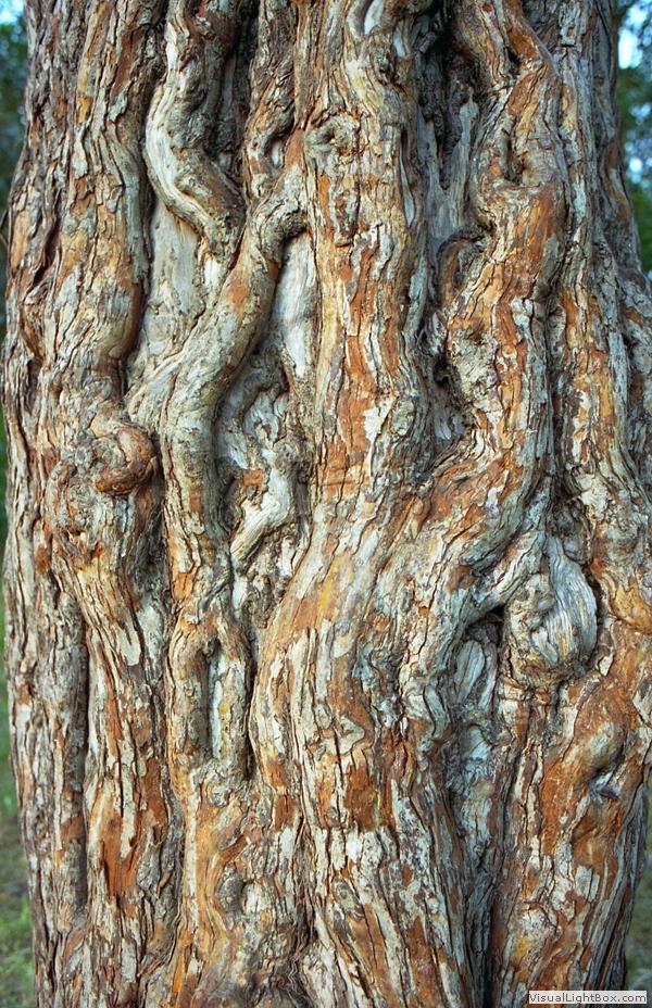 Hawthorn Tree Bark Hawthorn Tree Hawthorn